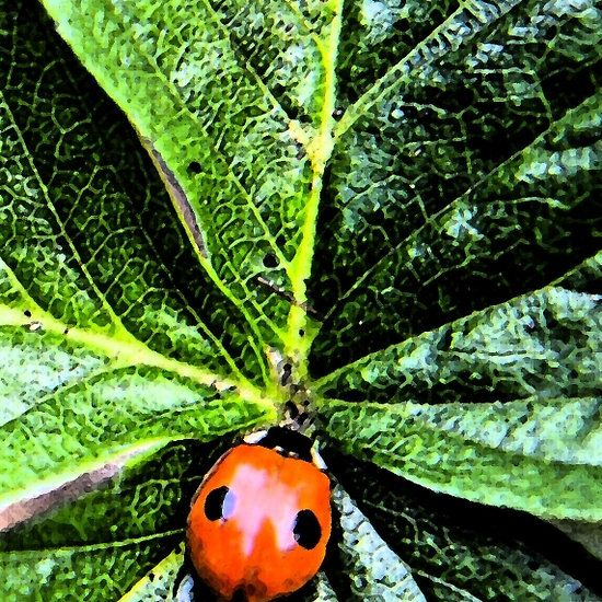 beetles bay leaves Asian and lady