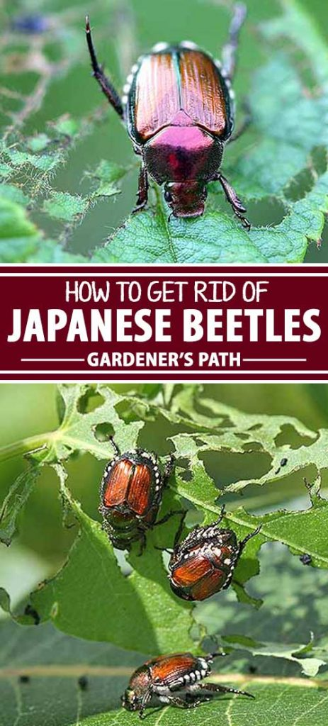 get asian to beatle rid bug How