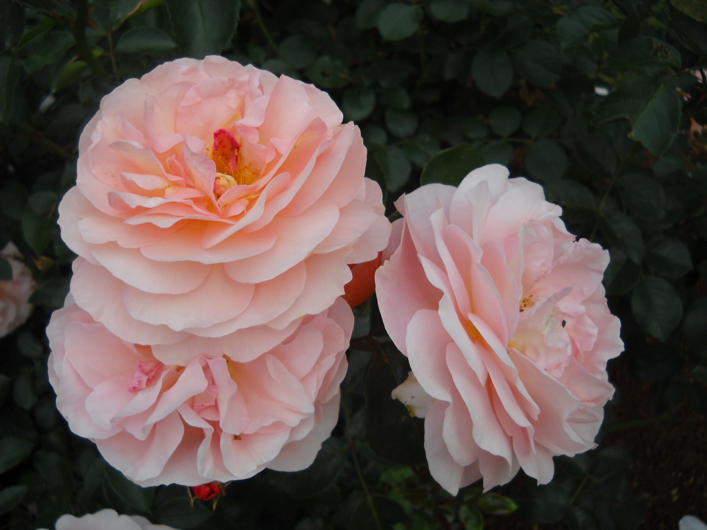 Are there roses in japan